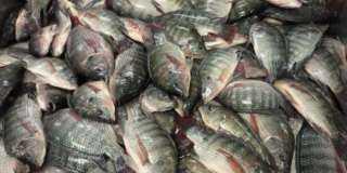 أسعار الأسماك بسوق العبور اليوم الجمعة البلطى بـ16-37 جنيها للكيلو
